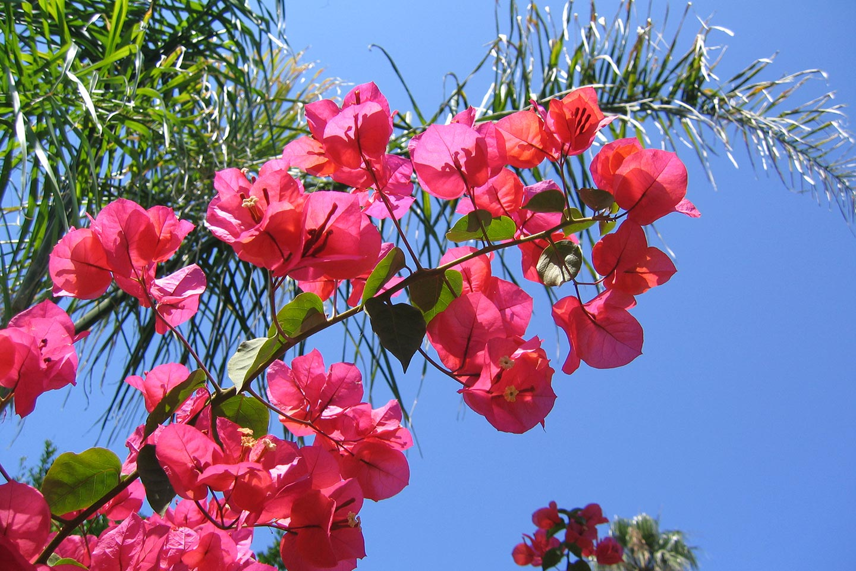 Bougainvillea oder Drillingsblume genannt auf Ischia