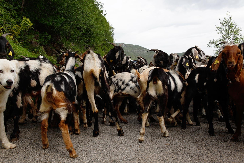 Ziegen am Chiunzi-Pass - Amalfiküste