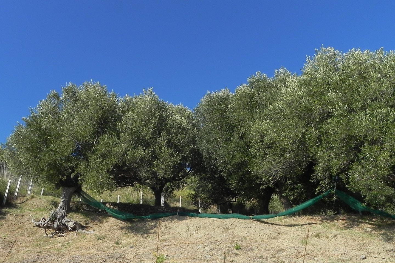 Olivenernte mit Netzen im Cilento