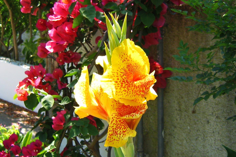 Blumenrohr Golden Gate mit Bougainvillea